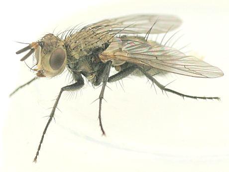 Tachinidae -? - Uclesia varicornis