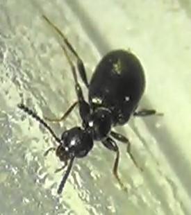 Antlike Flower Beetle - Vacusus confinis