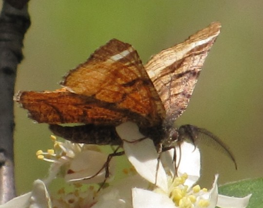Red-winged Wave Moth - Dasyfidonia avuncularia - male