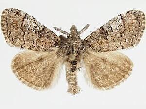 Dasychira mescalera - Hodges #8295 - Dasychira mescalera - male