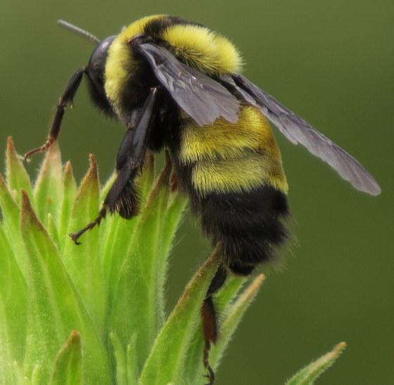 Male bumble - Bombus auricomus - male