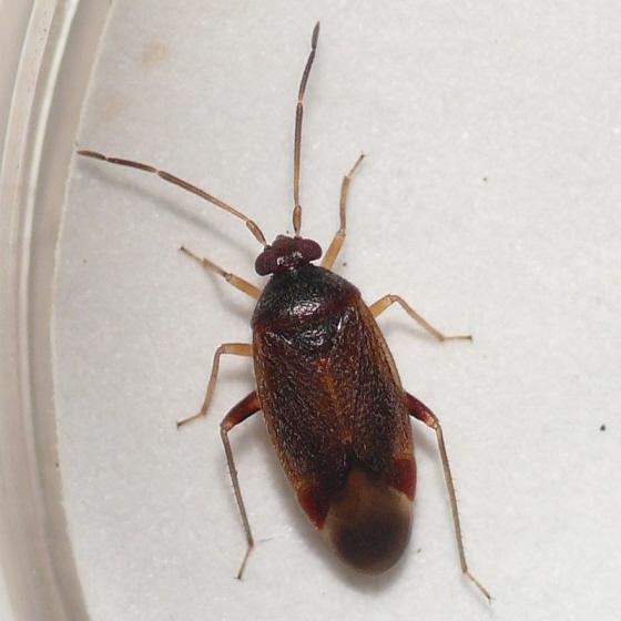 Ceratocapsus 10.06.13 - Ceratocapsus