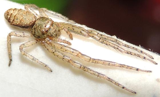Tmarus angulatus? - Tmarus