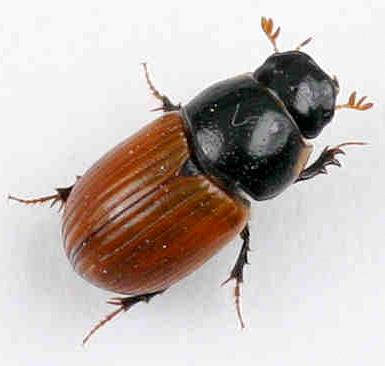 Scarabaeidae - looks like Aphodius fimetarius - Aphodius fimetarius