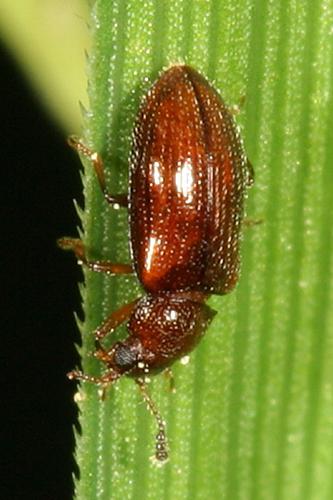 small beetle - Loberus impressus