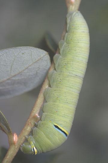 Zebra Swallowtail - final instar larva - Eurytides marcellus - female
