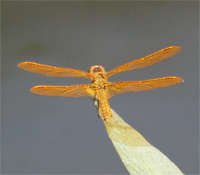 Dragonfly - Perithemis intensa - male