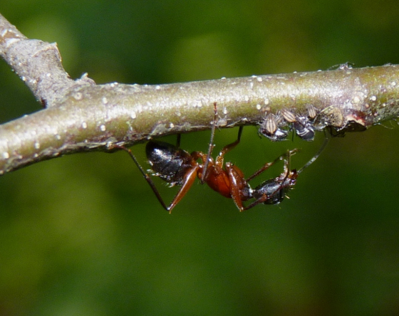 Red and black ants  - Camponotus chromaiodes