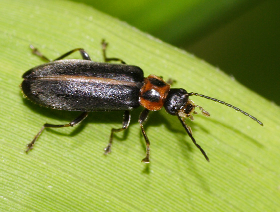 Beetle ID - Osphya varians