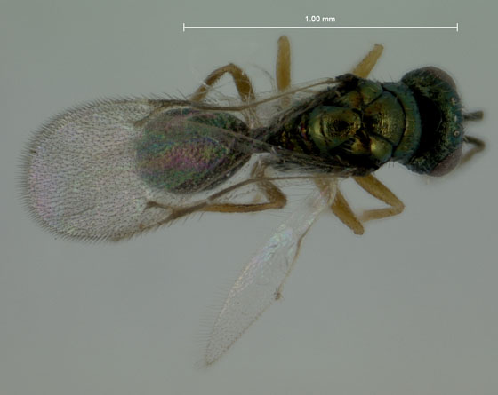 Particularly hairy Pteromalidae? - Asaphes