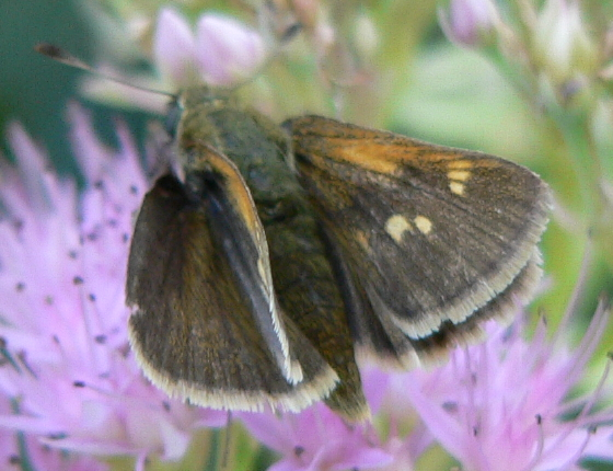 Tawny-edged Skipper - Polites themistocles - female