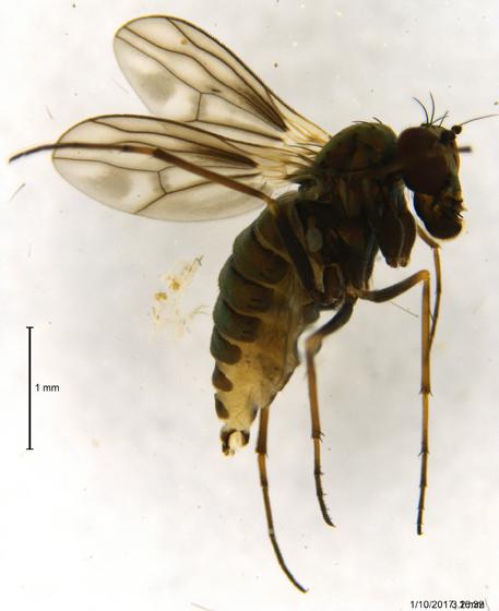 Dolichopodidae ?