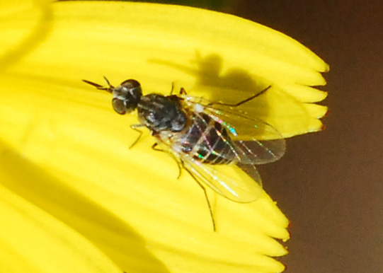 Orange County Bee Fly Archives #262 - Small striped bee fly  - Apolysis