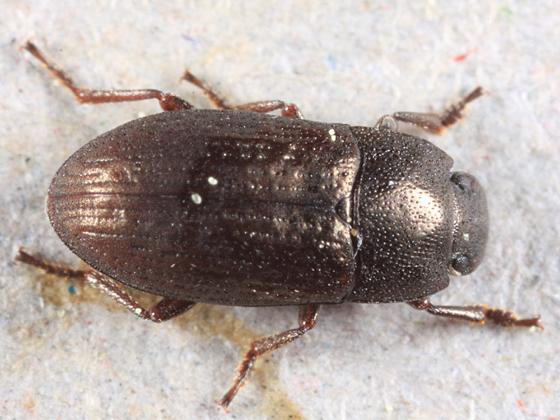 Darkling Beetle - Blapstinus metallicus