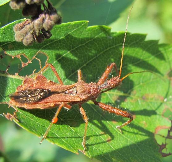 Spiny bug - Sinea diadema