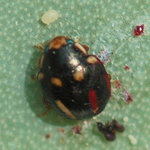 Ladybug, ladybug, what's all that stuff? - Hyperaspis trifurcata