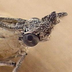 Pyralidae: Pima fosterella - Pima fosterella