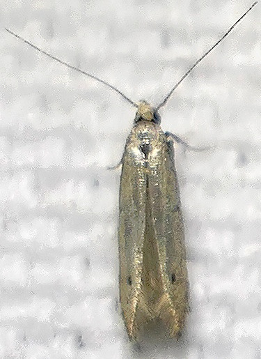 silvery moth with spot on wing