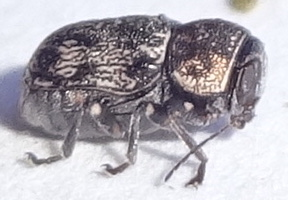 Leaf Beetle ? - Pachybrachis
