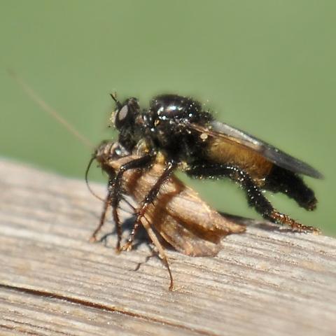 Robber Fly - Cyrtopogon dasyllis