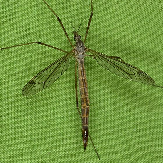 Tipula Crane Fly ZH3Z6489 - Tipula - female