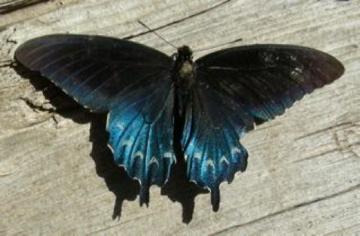 Pipevine Swallowtail - Battus philenor - male