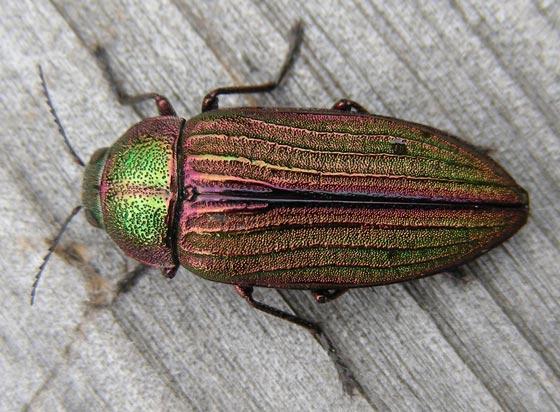 Buprestid Beetle - Buprestis aurulenta
