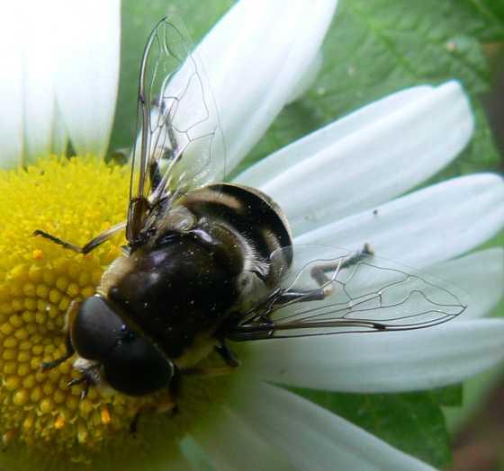 Syrphidae - Eristalis dimidiata - male