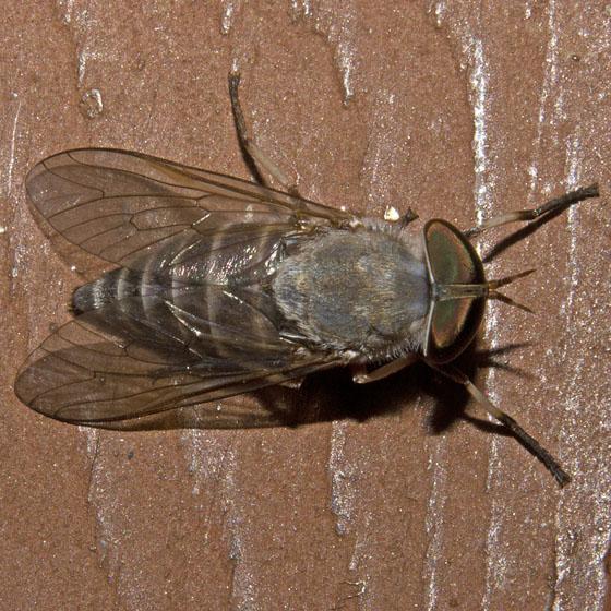 Horse Fly - Leucotabanus annulatus - female