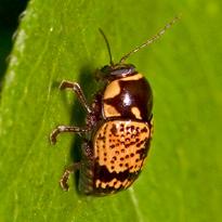 unknown beetle - Cryptocephalus irroratus