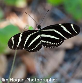 Zebra Longwing (Heliconius charithonia) - Heliconius charithonia