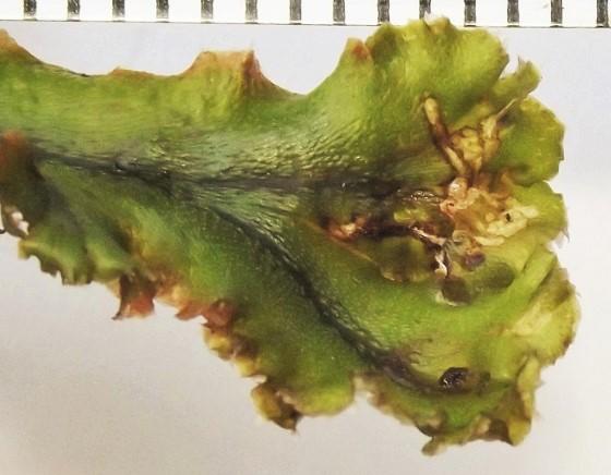 Thallus miner, Marchantia - Paraphaenocladius exagitans