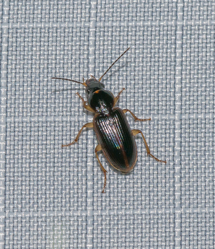 beetle - Stenolophus ochropezus