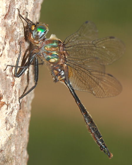 Brush-tipped Emerald - Somatochlora walshii - male