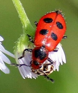 4 spotted Checkered Beetle - Pelonides quadrinotata