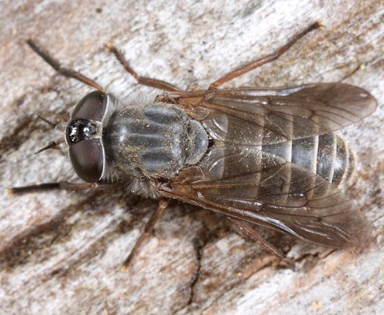gray fly - Apatolestes
