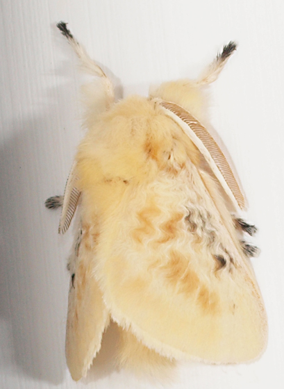 Moth to porch light - Megalopyge crispata - male
