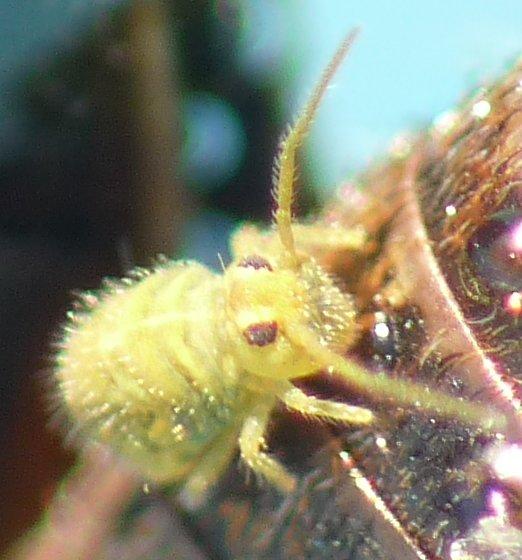 Globular Springtail? - Bourletiella viridescens