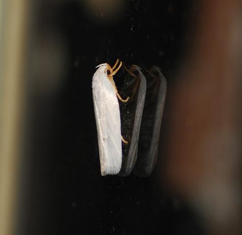 unknown moth - Antaeotricha albulella
