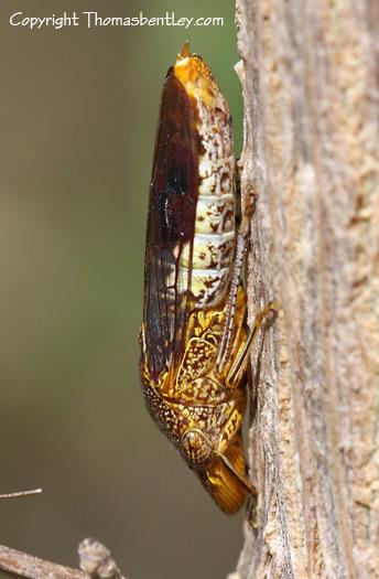 Leafhopper - Homalodisca vitripennis