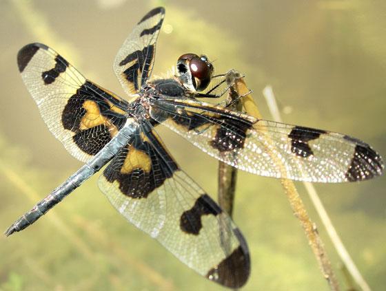 Banded Pennant - male - Celithemis fasciata - male