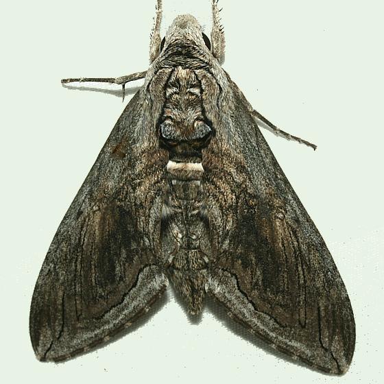 Moth - Manduca quinquemaculatus