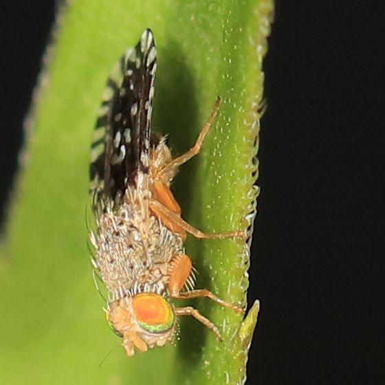 On a weedy plant 2 - Euaresta - female