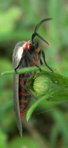 Black moth, red abdomen - Euchaetes bolteri - male