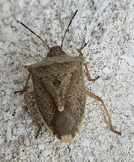 Euschistus variolarius (One-Spotted Stink Bug)? - Euschistus