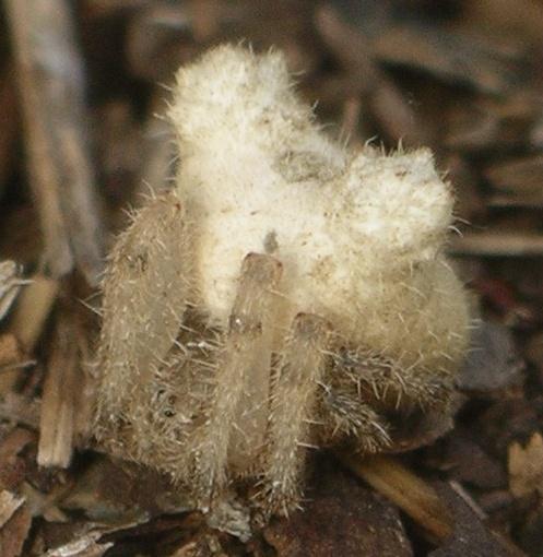 pale frilled orbweaver - Kaira alba - female