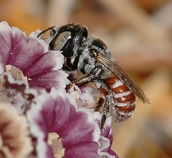 Ashmeadiella xenomastax - female