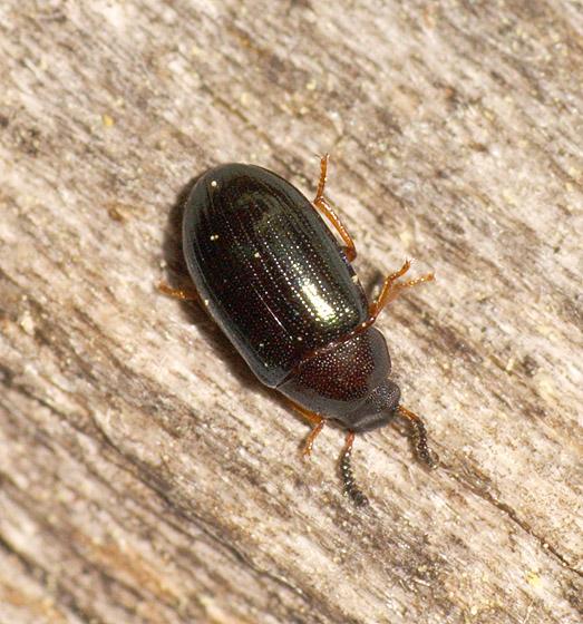Beetle ID - Neomida bicornis