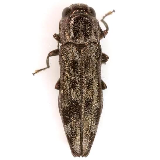 Agrilus dollii Schaeffer - Agrilus dollii