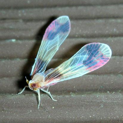 Hopper - Anotia uhleri